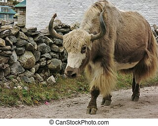 Brown white yak photographed in Khumjung, Nepal.