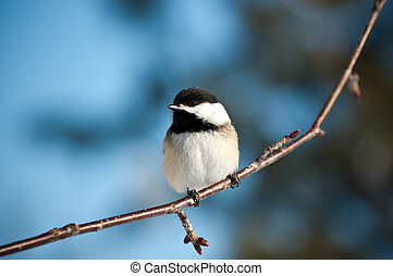 Black-Capped Chickadee Sitting on a Branch - A Black-Capped...