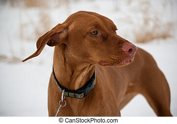 Vizsla Dog in Winter - A Vizsla dog in a snowy field in...