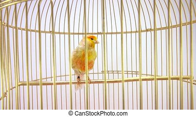 yellow singing canary in a cage isolated on a white screen.