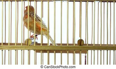 dove - singing canary in a cage isolated on a white screen.