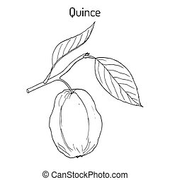 Quince Cydonia oblonga fruit tree branch. Hand drawn...