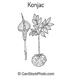 Elephant Yam or Konjac plant, konnyaku potato, devil s...