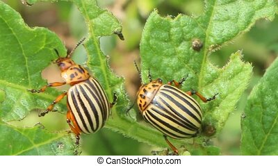 colorado beetles gobble up the leaves of potatoes - colorado...