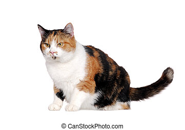 Adult tricolor cat in a white studio looking to the side