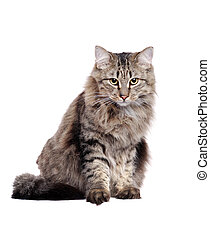 Grey fluffy cat sitting in a white  studio looking straight