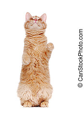 Ginger cat sitting on hind legs in a begging pose