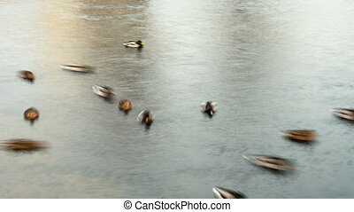 Ducks in pond town. Smooth blurred motion.  Timelapse shot.