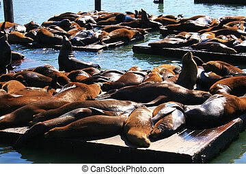 Sea lions at Pier 39, San Francisco - Big group of sea lions...