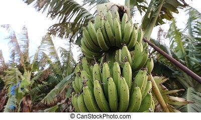 Banana tree on the plantation, farming concept