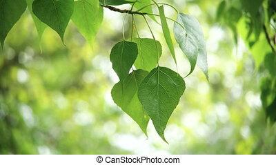 Leaves backlit. Summer poplar tree - Beautiful, harmonious...