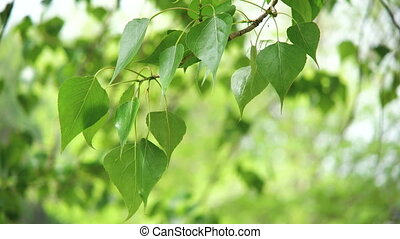 Leaves backlit. Summer poplar tree - Beautiful, harmonious...