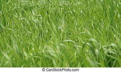 Grass green field closeup
