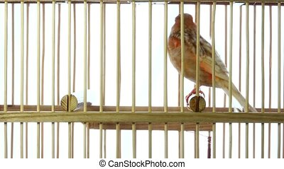 singing canary in a cage isolated on a white screen. soud