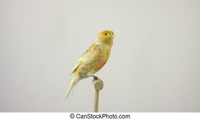 dove - feo canary isolated on a white screen.
