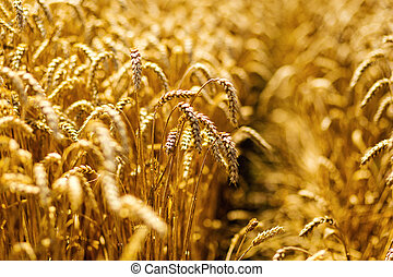Wheat field. Ears of golden wheat close up. Beautiful nature landscape. Rural scenery under shining sunlight. Rich harvest Concept