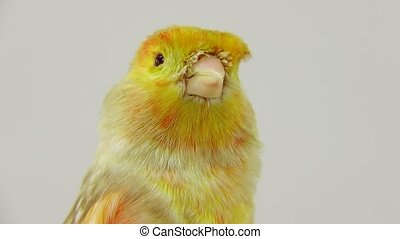 yellow canary - feo canary isolated on a white screen.