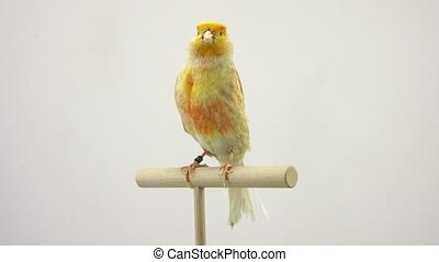 canary isolated on a white screen.