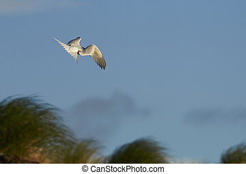 South American Tern (Sterna hirundinacea) in flight on the...