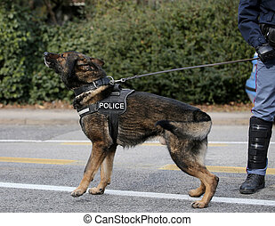 German shepherd police dog while patrolling the city streets...