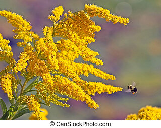 Bright yellow flowers of the Goldenrod. Bumblebee...