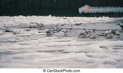 Seagulls Sitting on the Frozen Ice-Covered Sea in Slow...