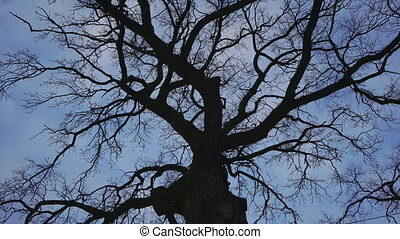 Oak Tree against a blue sky and clouds background -...