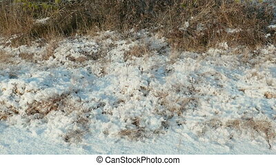 Dried grass under the snow. Clean and frosty daytime. Smooth dolly shot