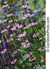 Mint Flower Plant - Purple wild mint flower plant in the...
