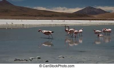 Pink flamingos in Laguna Hedionda, Bolivia