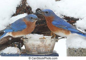 Male Eastern Bluebirds on a Feeder - Male Eastern Bluebirds...