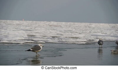 Seagulls Sitting on the Frozen Ice-Covered Sea in Winter....