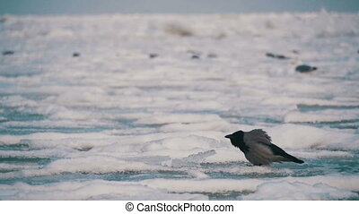 Crow Sits on the Frozen Ice-Covered Sea in Slow Motion -...