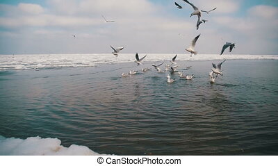 Group of Seagulls Diving and Fighting for Food in Winter...