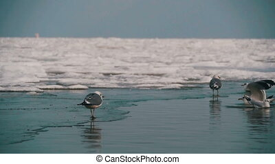 Seagulls Sitting on the Frozen Ice-Covered Sea in Winter. Slow Motion