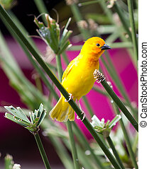 Yellow canary Serinus canaria perched on reeds in pond....