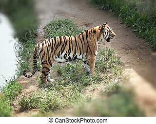 Bengal tiger5 - Bengal tiger standing by a lake looking at...