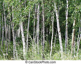 birches, forest