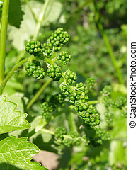 a flowers of grape in spring