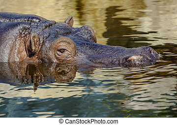 Hippopotamus head sticking out of water