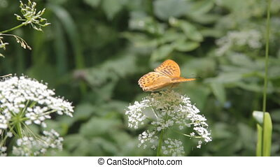 Pearl-Bordered family insects butterflies feeding on white...