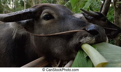 Bull eating green leaf in the barn. Close up. Professional...
