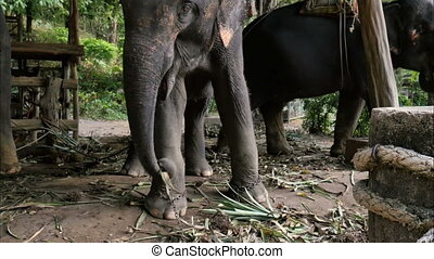Asiatic elephant eating hay and dancing. Professional shot...