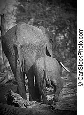 African Elephants - A herd of African elephants Loxodonta...
