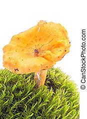 Spider on a mushroom - Spider Harvestmen on a mushroom...