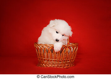 White Puppy of Samoyed Dog in Basket on Red Background. -...