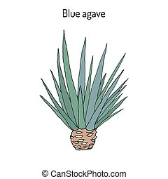 Blue agave Agave tequilana . Hand drawn botanical vector...