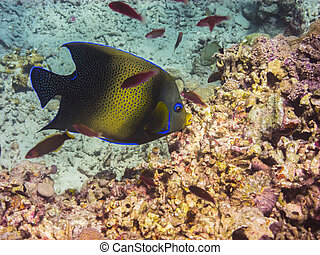 angelfish swims in water - angelfish swims in the clear sea...