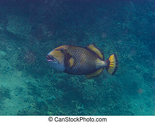 green triggerfish middle view - green triggerfish in the sea...