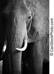 African Elephants - Portrait of an African elephant...